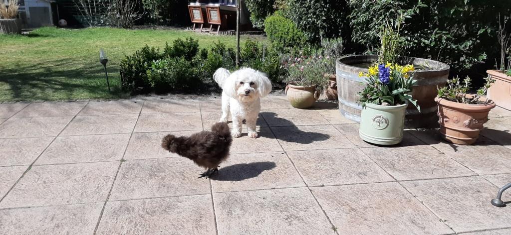 weißer hund mit schwarzem zwerghuhn auf terasse im garten