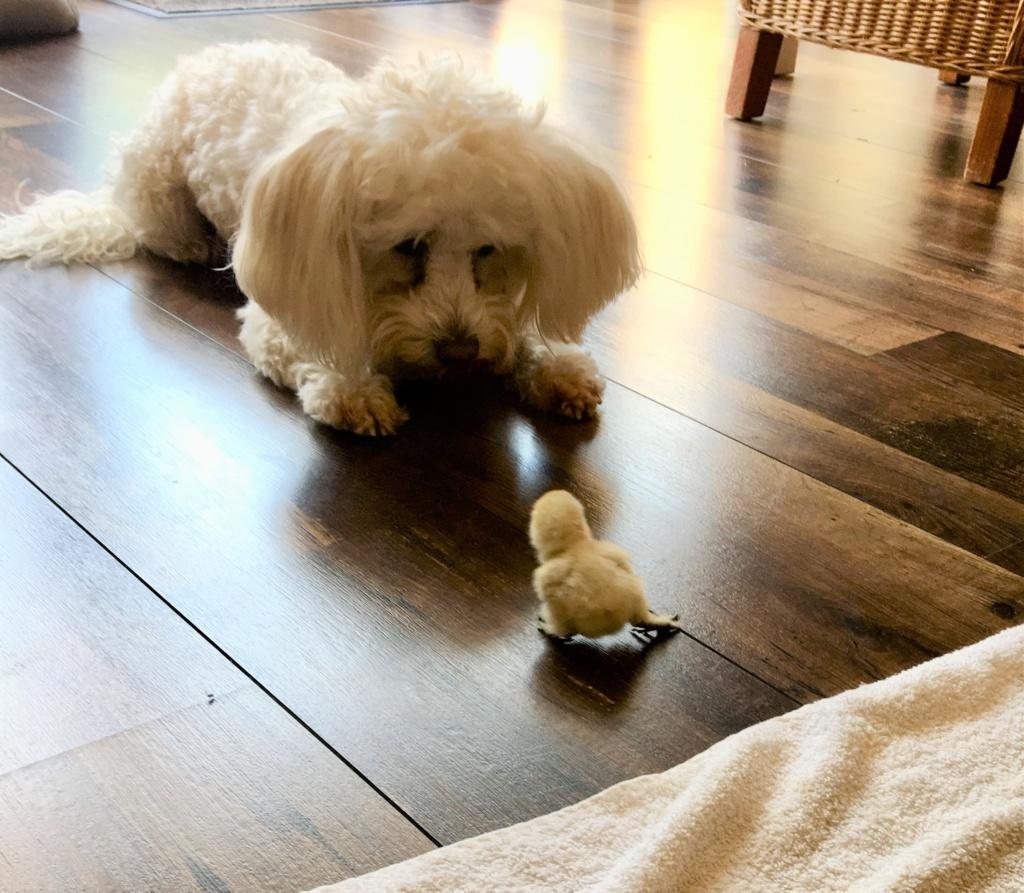 hühnerküken spielt mit hund