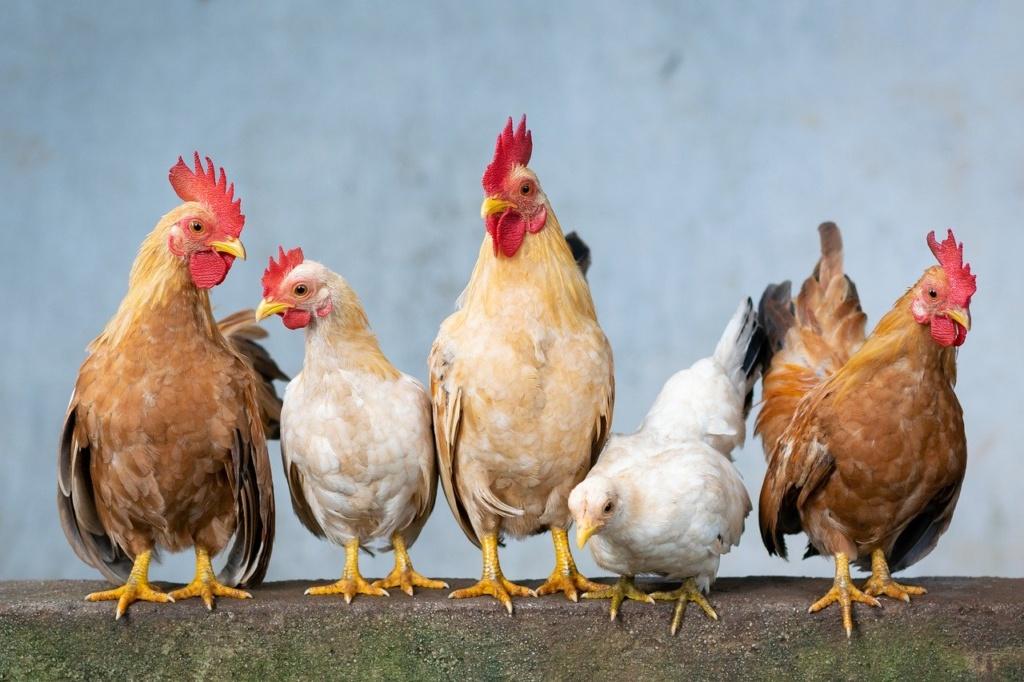 5 Zwerghühner stehen nebeneinander