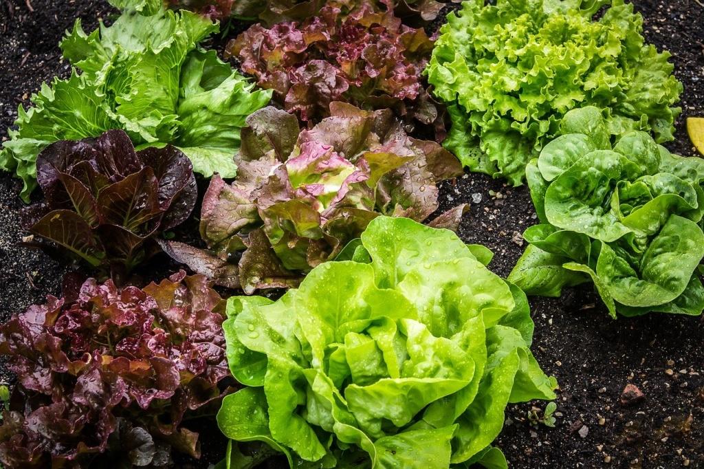 Salat Salatpflanze Kopfsalat