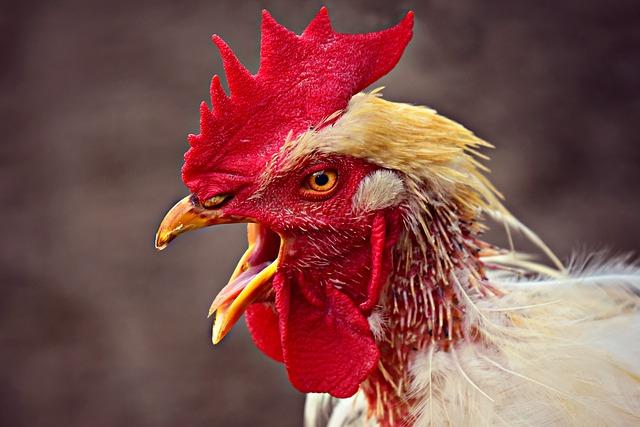 Erfrierungen am Kamm vom Huhn
