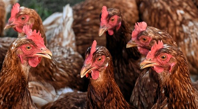 Hühnerkrankheiten und Symptome erkennen