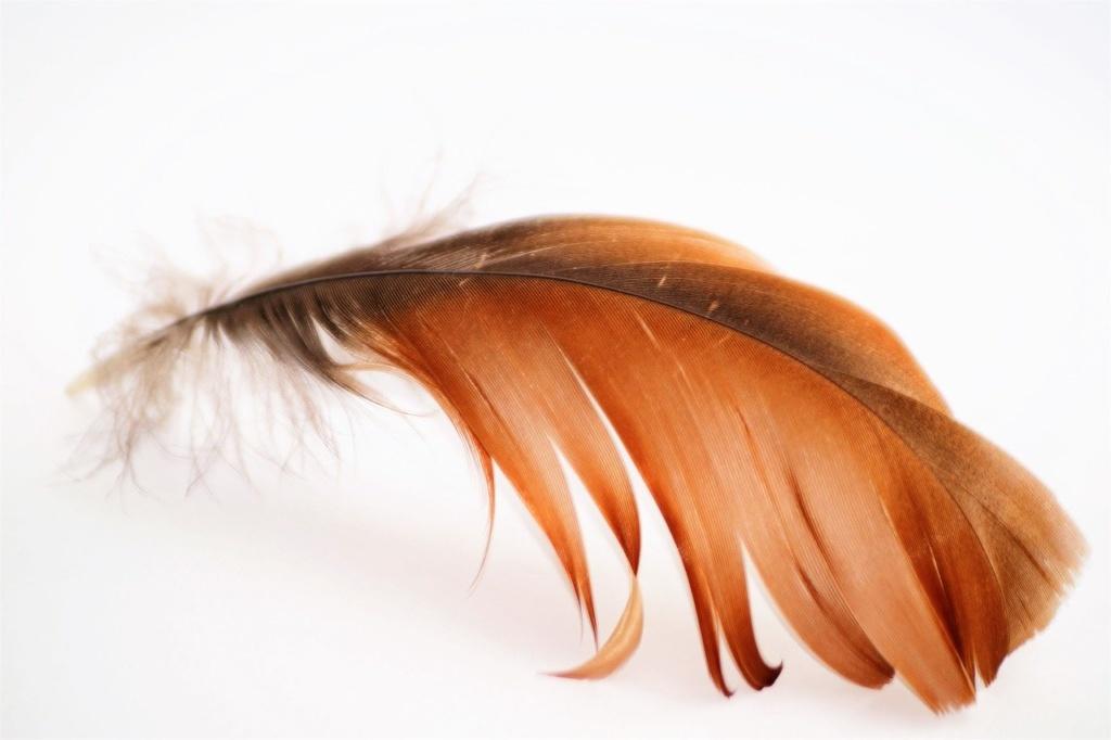 Federpicken Federfressen bei Hühner