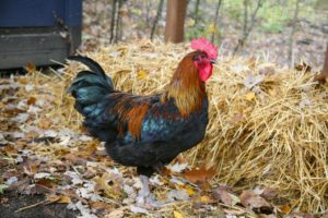 Mareksche Krankheit Huhn humpelt