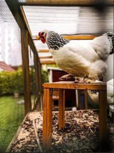 Huhn sitzt im Hühnerstall auf Holzhocker