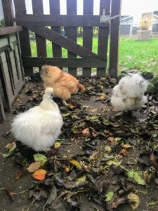 Zwerghühner laufen im Laub