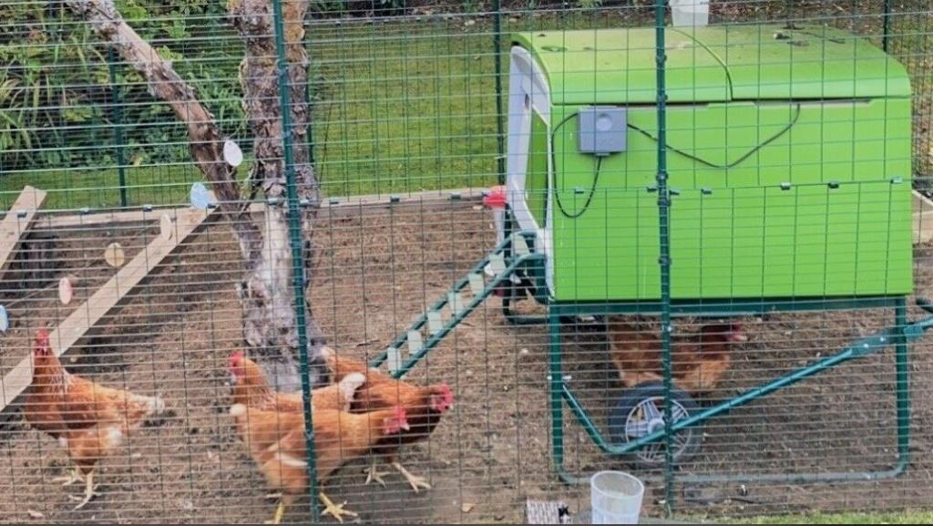 Hühner vor Leiter des Eglu Cube
